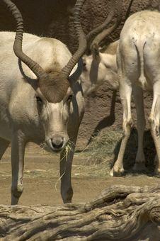 Free Buck , Dear Royalty Free Stock Image - 2722036