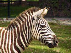 Free Zebra Stock Images - 2722104