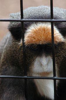 Trapped Monkey Portrait Royalty Free Stock Photos