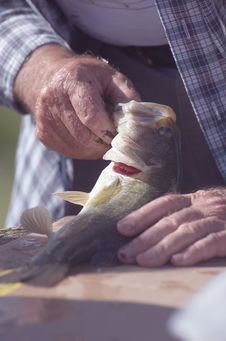 Free Measuring A Fish Royalty Free Stock Photos - 2723178