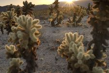 Free Sunrise Over Cholla Garden Royalty Free Stock Photo - 2723285