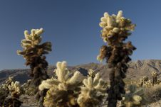 Free Cholla Garden Royalty Free Stock Photos - 2723288