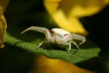 Free White Spider Stock Image - 2723531