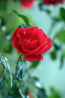 Free Red Rose On Green Stock Photo - 2725130