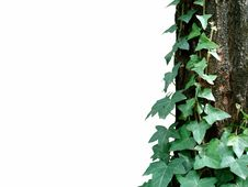 Ivy And Log On White Royalty Free Stock Photo