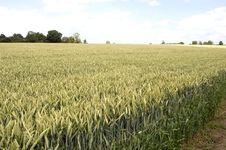 Free Wheat Field, Hertfordshire 1 Stock Image - 2726151