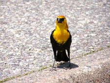 Yellow Headed Blackbird Royalty Free Stock Images