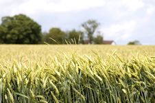 Free Wheat Field, Hertfordshire 3 Royalty Free Stock Images - 2729469