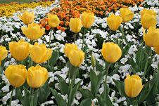 Free Tulips And Petunias Stock Image - 2729581