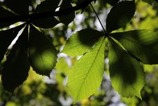 Free Leaves On Chestnut Stock Photo - 27200550