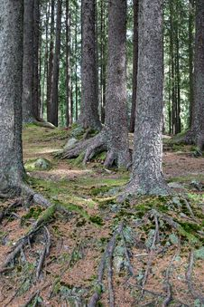 Free Trees In Forest Stock Image - 27200691