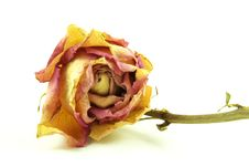 Withered Rose Stock Photo