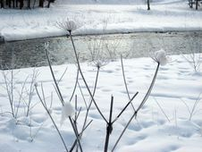 Free Flowers Covered With Snow Royalty Free Stock Photography - 27203477