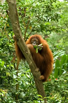 Free Hairy Orangutan Eating Royalty Free Stock Image - 27206186