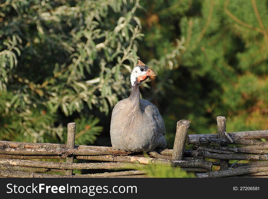 Helmeted guinea fowl portrait
