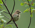 Free Song Sparrow Eating Damselflies Stock Photography - 27210232