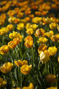 Free Spring Background With Beautiful Yellow Tulips Royalty Free Stock Photography - 27213317