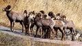 Free Big Horn Sheep 012 Royalty Free Stock Image - 27215186