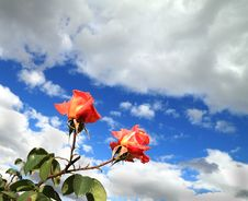 Free Two Scarlet Roses Royalty Free Stock Photos - 27210118