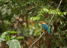 Free Stork-billed Kingfisher Royalty Free Stock Images - 27210229