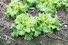 Green Fresh Lettuce Growing At A Farm Royalty Free Stock Images