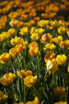 Spring Background With Beautiful Yellow Tulips Royalty Free Stock Photography