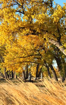 Free Fall Trees On Windy Day Royalty Free Stock Image - 27214976