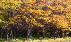 Rows Of Trees In Fall Colors 02 Royalty Free Stock Photography