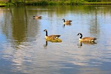 Free Geese Family Royalty Free Stock Image - 27215566