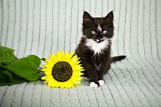 Free Kitten With Sunflower Royalty Free Stock Photography - 27215787