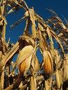 Free Field Corn Stock Image - 27228091