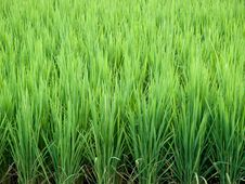Free Rice Growth Stock Image - 27220171