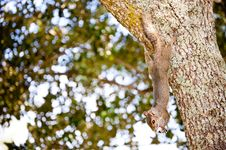 Free Gray Squirrel Stock Photography - 27221672