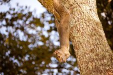Free Close Up Squirrel Royalty Free Stock Photography - 27221677