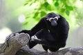 Free White - Handed Gibbon Stock Photo - 27232040