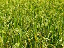 Free Rice Growth Stock Photography - 27233772