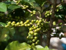 Free Coffee Beans Stock Photography - 27235682
