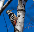 Free White-backed Woodpecker Royalty Free Stock Photo - 27244265