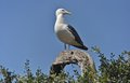 Free Seagull Sentinel Royalty Free Stock Images - 27244539
