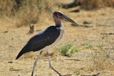 Marabou Stork - Funny Looking Stock Image