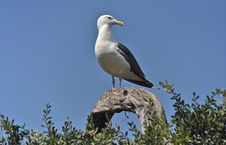 Seagull Sentinel Royalty Free Stock Images