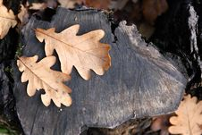 Free Oak Leaves Stock Image - 27248281