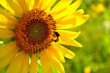 Free Sunflower Royalty Free Stock Photos - 27248838
