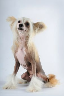Free Chineese Crested Dog Portrait Stock Photography - 27249612