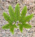 Free Stone Fern Leaf Royalty Free Stock Photography - 27257587