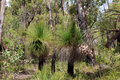 Free Australian Grass Trees In Forest Royalty Free Stock Images - 27257899