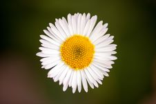 Free White Daisy On Green Background Royalty Free Stock Photography - 27251747