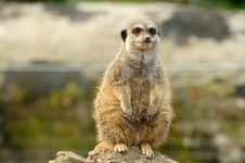Free A Fat Meerkat Royalty Free Stock Photos - 27255558