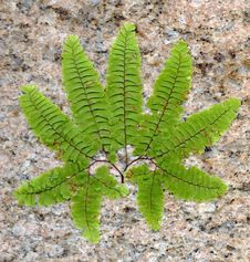 Free Stone Fern Leaf Royalty Free Stock Photography - 27257587