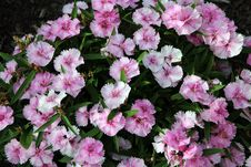 Free Pink Dianthus Flowering Plant Stock Photography - 27257872